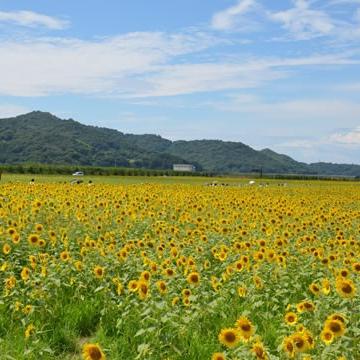 神戸のサプライズプロポーズ 笠岡湾干拓地の花
