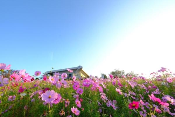 和歌山県のプロポーズスポット 鷺ヶ峰コスモスパーク