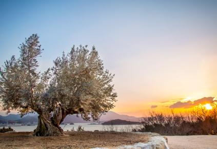 神戸のサプライズプロポーズ 樹齢千年のオリーヴ大樹